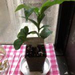 コーヒーの木の成長過程1